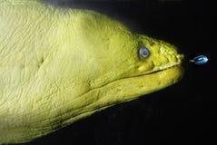 Grüner Barracuda und kleine Fische Stockfotografie