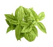 Grüner Basilikum Stockfoto