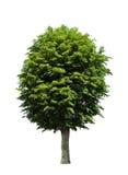 Grüner Baum über Weiß lizenzfreie stockfotos