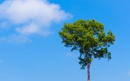 Grüner Baum auf blauem Himmel Stockfotografie