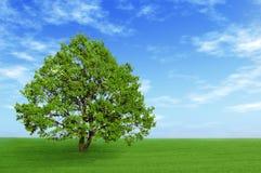 Grüner Baum auf dem Gebiet Stockfoto