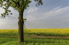 Grüner Baum auf dem gelben Rapsgebiet mit blauem Himmel Lizenzfreies Stockfoto