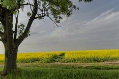 Grüner Baum auf dem gelben Rapsgebiet mit blauem Himmel Lizenzfreies Stockbild