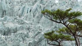 Grüner Baum auf dem Hintergrund des Gletschers stock footage