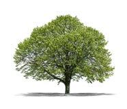 Grüner Baum auf einem weißen Hintergrund stockfotos