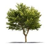 Grüner Baum auf einem weißen Hintergrund stockfoto
