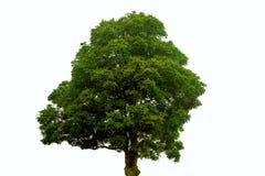 Grüner Baum auf einem weißen Hintergrund stockfotografie