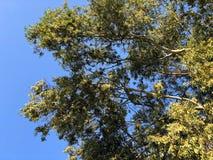 Grüner Baum auf sonnigem Hintergrund des blauen Himmels Baumast mit grünem Blattmuster Sonniges Parkgrün Stockbild