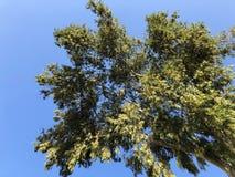 Grüner Baum auf sonnigem Hintergrund des blauen Himmels Baumast mit grünem Blattmuster Sonniges Parkgrün Grüne Baumsommerfahne Stockfotografie