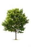 Grüner Baum auf Weiß Lizenzfreie Stockfotografie