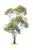 Grüner Baum auf weißem Hintergrund Stockfotos