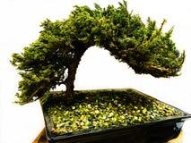 Grüner Baum der Bonsais Stockbilder