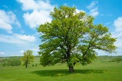 Grüner Baum des Frühlinges Stockfotos