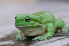 Grüner Baum-Frosch Stockfotografie