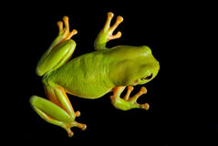 Grüner Baum-Frosch Lizenzfreie Stockfotografie