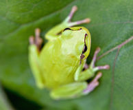Grüner Baum-Frosch Lizenzfreies Stockfoto