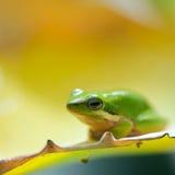 Grüner Baum-Frosch Stockfoto