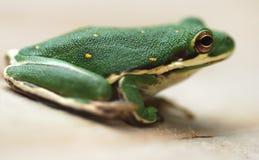 Grüner Baum-Frosch Lizenzfreies Stockbild