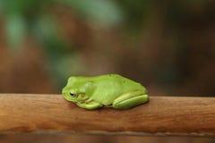 Grüner Baum-Frosch Lizenzfreie Stockbilder