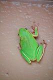 Grüner Baum-Frosch auf Wand stockfoto