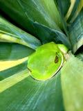 Grüner Baum-Frosch Front View Lizenzfreie Stockfotografie