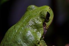 Grüner Baum-Frosch schaut weg von Kamera stockfotos