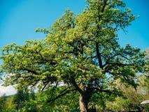 Grüner Baum gegen den blauen Himmel Blumen und Anlagen in Montenegr Stockfotos