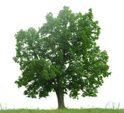 Grüner Baum getrennt auf Weiß Lizenzfreies Stockbild