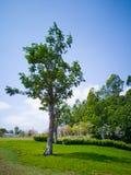 Grüner Baum im Frühjahr Stockfotografie