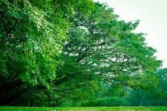 Grüner Baum im Garten Lizenzfreies Stockbild