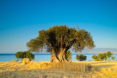 Grüner Baum im trockenen Mais Lizenzfreie Stockfotos