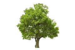 Grüner Baum lokalisiert stockfotos