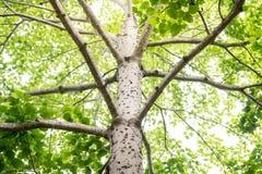 Grüner Baum mit Niederlassungen und Blättern, Stamm des großen grünen Baums in p Stockfoto