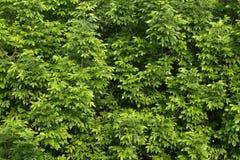Grüner Baum treibt Hintergrund Blätter lizenzfreies stockbild
