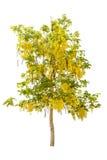 Grüner Baum und goldene Dusche lokalisiert auf Weiß Lizenzfreies Stockfoto