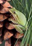 Grüner Baumfrosch auf Kieferkegel Lizenzfreie Stockbilder