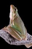 Grüner Baumfrosch auf Milkweedhülse Stockbilder