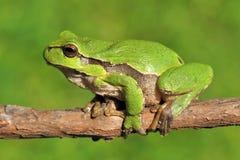 Grüner Baumfrosch auf Zweig Lizenzfreies Stockbild