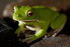 Grüner Baumfrosch, der auf einem Stein sitzt Stockbilder