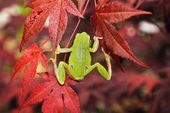 Grüner Baumfrosch, der auf japanischem Ahorn klettert Stockfotografie