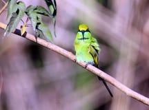 Grüner Bee-eater Lizenzfreies Stockbild