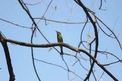 Grüner Bee-eater Stockfoto
