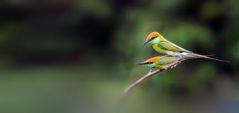 Grüner Bee-eater lizenzfreies stockfoto