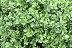 Grüner belaubter Hintergrund, Beschaffenheit Lizenzfreies Stockbild
