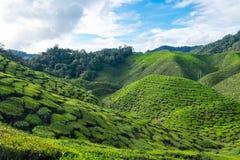 Grüner Berg von Teeplantagen mit blauem Himmel nahe Cameron Val Lizenzfreies Stockfoto