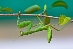 Grüner betender Mantis Lizenzfreie Stockbilder