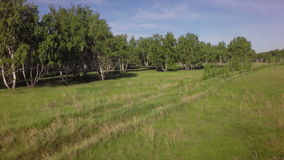 Grüner Birkenwald des Sommers stock footage