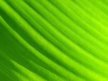 Grüner Blathintergrund. Stockfotografie