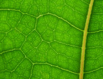Grüner Blatt-Abschluss oben Lizenzfreies Stockbild