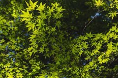 Grüner Blatt Ahornbaum, Licht und Schatten Stockfotografie